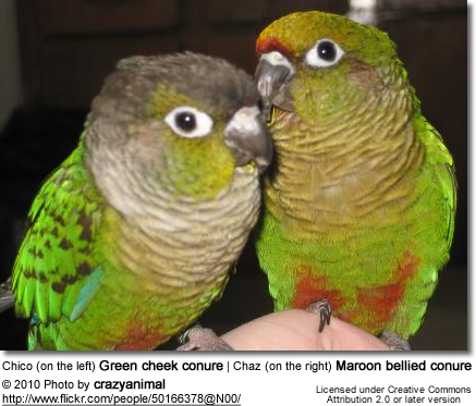 Chico (on the left) Green cheek conure | Chaz (on the right) Maroon bellied conure