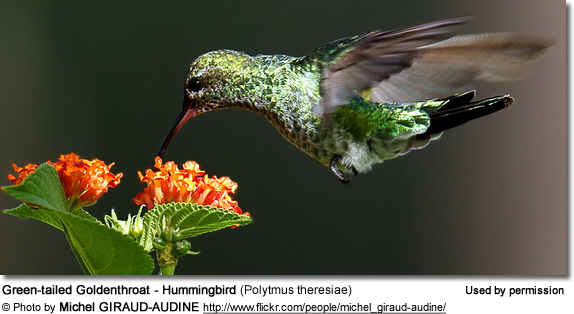 Green-tailed Goldenthroat - Hummingbird (Polytmus theresiae)