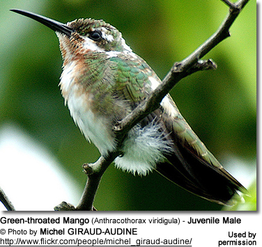 Green-throated Mango (Anthracothorax viridigula) - Juvenile Male