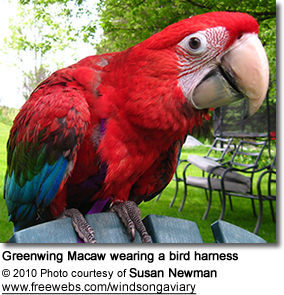 Greenwing Macaw wearing a bird harness