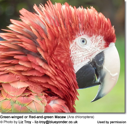 Green-winged or Red-and-green Macaw (Ara chloroptera)