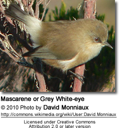 Mascarene White-eye (Zosterops borbonicus), also known as Grey White-eye