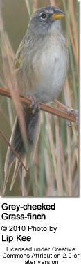 Gray-cheeked Grassfinch