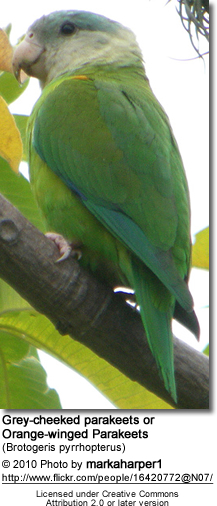 Grey-cheeked parakeets or Orange-winged Parakeets (Brotogeris pyrrhopterus)