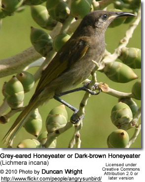 Grey-eared Honeyeater or Dark-brown Honeyeater (Lichmera incana)