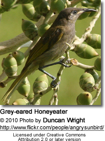 Grey-eared Honeyeater