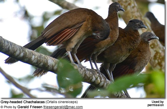 Grey-headed Chachalacas (Ortalis cinereiceps)
