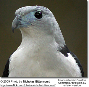 Grey-headed Kite