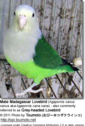 Madagascar Lovebird (Agapornis canus canus aka Agapornis cana cana) - also commonly referred to as Grey-headed Lovebird