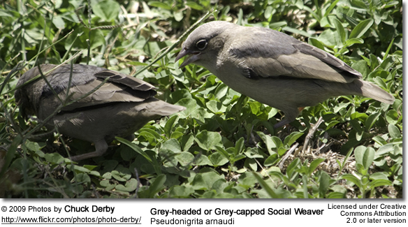Grey-headed or Grey-capped Social Weaver