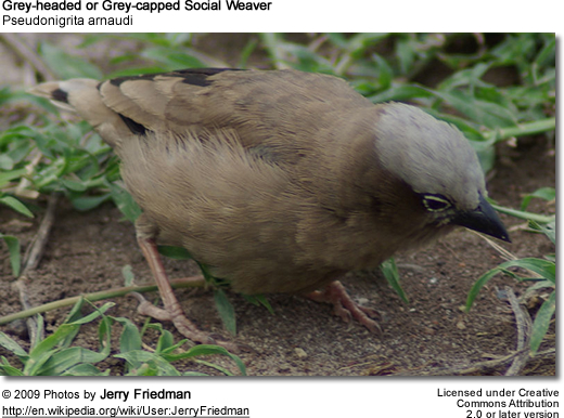 Grey-capped Social Weaver