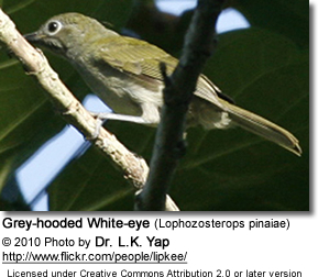 Grey-hooded White-eyes (Lophozosterops pinaiae)
