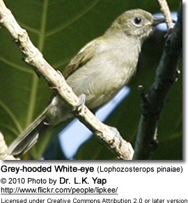 Grey-hooded White-eye (Lophozosterops pinaiae)
