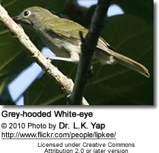 Grey-hooded Whiteeye
