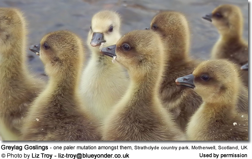 Greylag Goslings - with one paler mutation amongst them