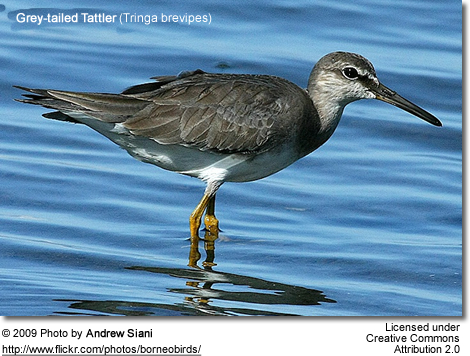 Grey-tailed Tattler-Tringa brevipes