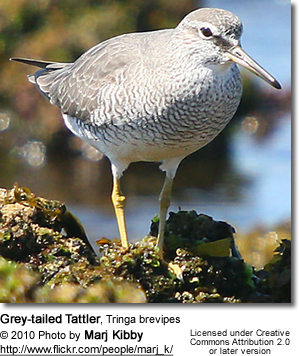 Grey-tailed Tattler, Tringa brevipes