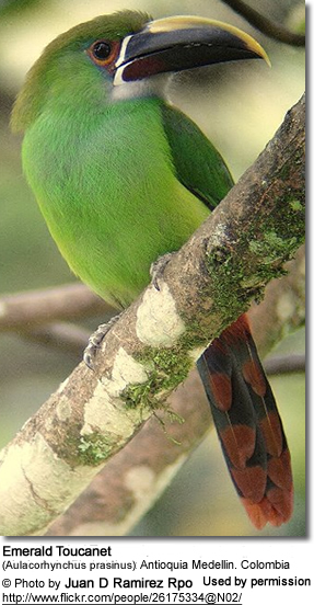 Grey-throated Toucanet, Aulacorhynchus [prasinus] griseigularis