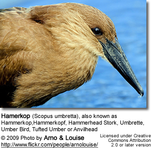 Umbrette, Umber Bird, Tufted Umber or Anvilhead