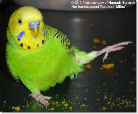 Splay-legged Parakeet