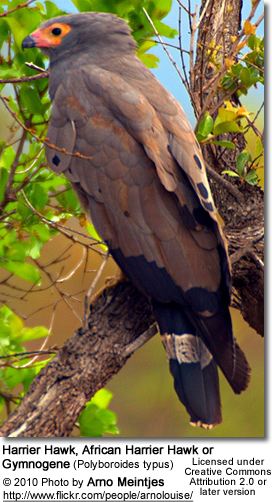 Harrier Hawk, African Harrier Hawk or