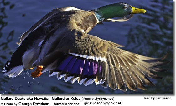 Mallard Ducks aka Hawaiian Mallard or Koloa