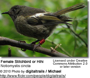 Stitchbird or Hihi (Notiomystis cincta)