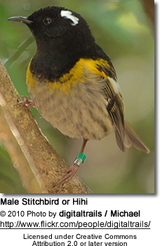 Male Stitchbird or Hihi