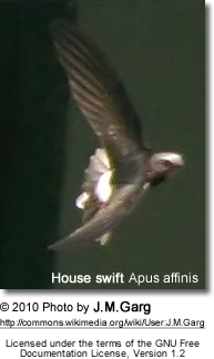 House swift Apus affinis in Kolkata, West Bengal, India.