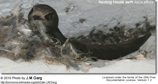Nesting House swift Apus affinis
