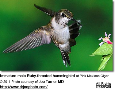 Immature male Ruby-throated hummingbird at Pink Mexican Cigar