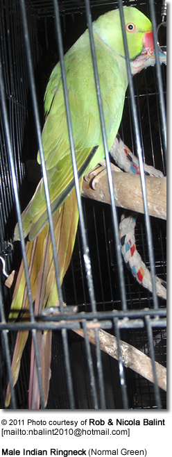 Male Indian Ringneck (Normal Green)