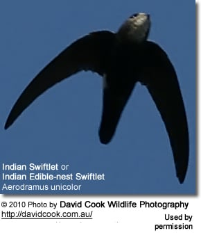 Indian Swiftlet, or Indian Edible-nest Swiftlet, Aerodramus unicolor