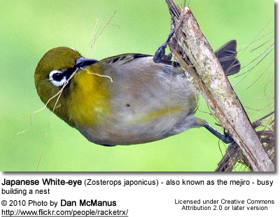 Japanese White-eye (Zosterops japonicus) - also known as the mejiro - busy building a nest