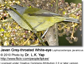 Javan Grey-throated White-eye (Lophozosterops javanicus)