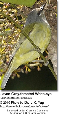 Javan Grey-throated White-eye Lophozosterops javanicus