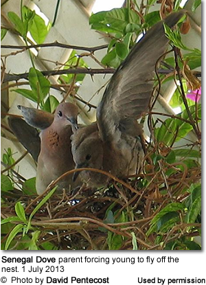 Laughing Dove Chick exercising its wing