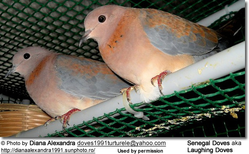 African Laughing Doves