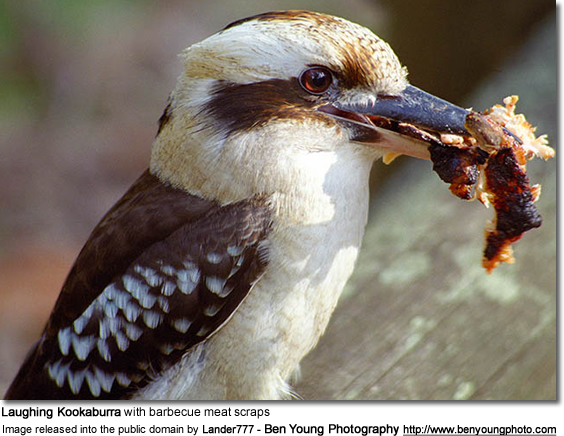Laughing Kookaburra with barbecue meat scraps