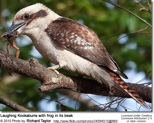 Laughing Kookaburra with frog in its beak