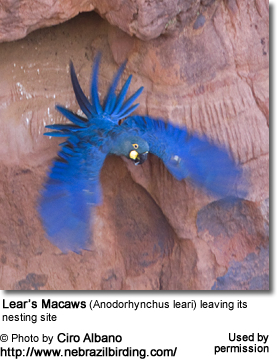 Lear's Macaws (Anodorhynchus leari) leaving its nesting site