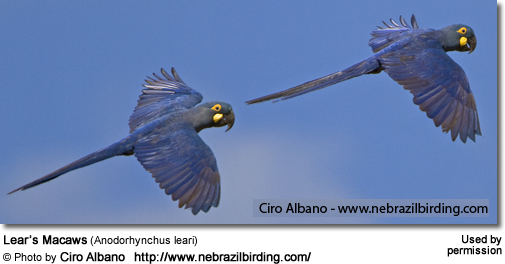 Flying Lear's Macaws
