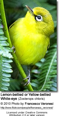 Lemon-bellied White-eyes or Yellow-bellied White-eyes (Zosterops chloris)