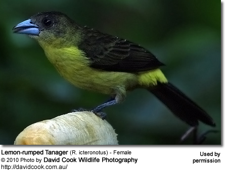 Lemon-rumped Tanager (R. icteronotus) - Female