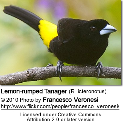 Lemon-rumped Tanager (R. icteronotus)