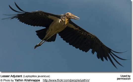 Lesser Adjutant (Leptoptilos javanicus) in flight