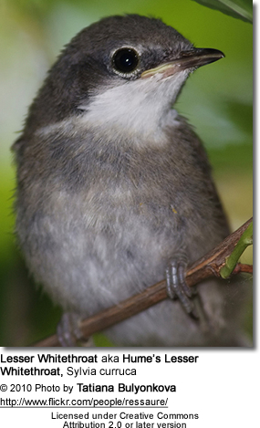 Lesser Whitethroat aka Hume's Lesser Whitethroat, Sylvia curruca