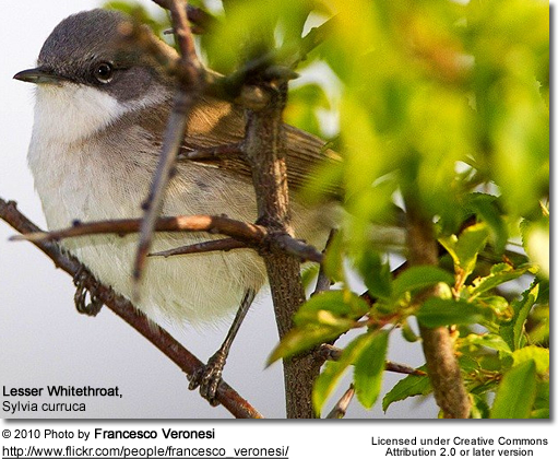 Lesser Whitethroat ( Sylvia curruca)