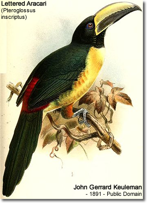 Lettered Aracari (Pteroglossus inscriptus) - also known as Lesser Aracari, Lettered Toucan or Maroon-banded Aracari