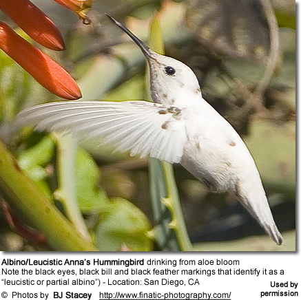 Albino/Leucistic Anna€™s Hummingbird drinking from aloe bloom